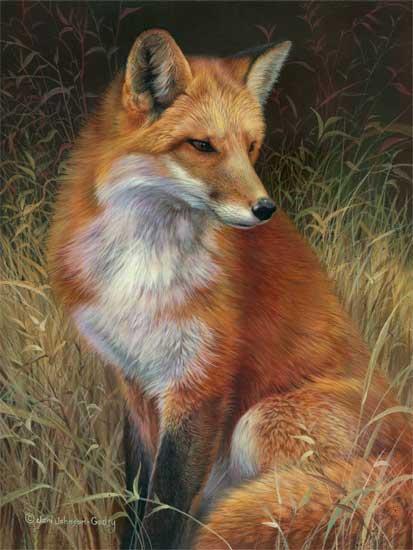 Orange Wolf Drawing Cypress Fine Art Licen...